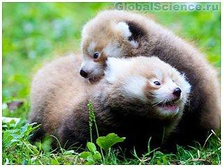 В зоопарке Швеции родились уникальные красные панды
