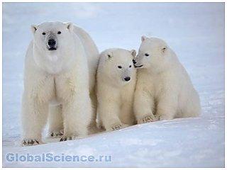 Ученые занялись поиском новой популяции белых медведей