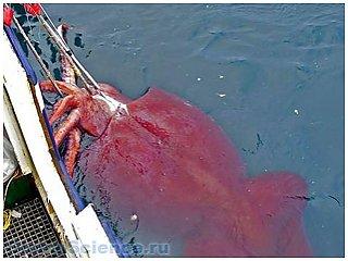 В водах Антарктики поймали уникального гигантского кальмара
