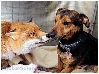 В Британии лисица ведет собачий образ жизни