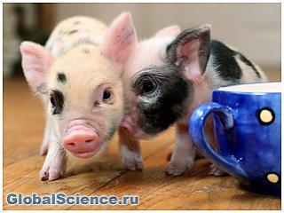 НИИ из Китая продает трансгенных микро-свиней в качестве питомцев