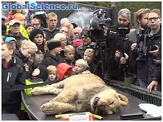 В датском зоопарке вновь провели публичное вскрытие льва