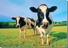 Коровы могут производить миллиарды киловатт электроэнергии?
