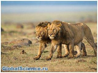 В Кении львы-людоеды убивали людей из-за проблем с зубами