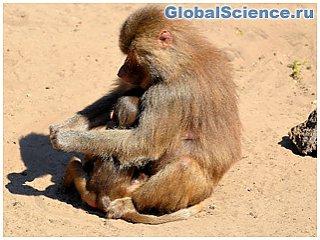Бабуины раскрыли тайну сказочной страны