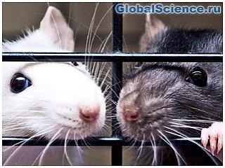 В Китае крысы-самцы воспроизвели потомство