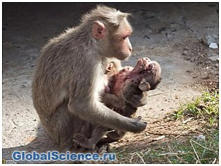 Почему обезьяны носят с собой умерших детенышей