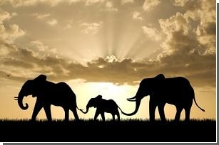 Инфразвук собирает слонов вместе