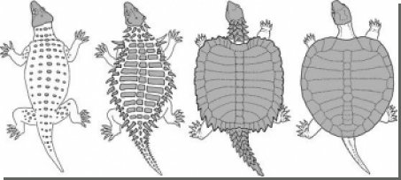 Найдена ископаемая прото-черепаха, объясняющая развитие черепашьего панциря