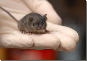 Японці воскресили мертву мишу. На черзі мамонти?