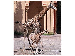У жирафа не только длинная шея, но и супер-сердце