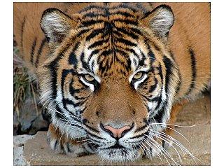 В год Тигра тиграм не до смеха